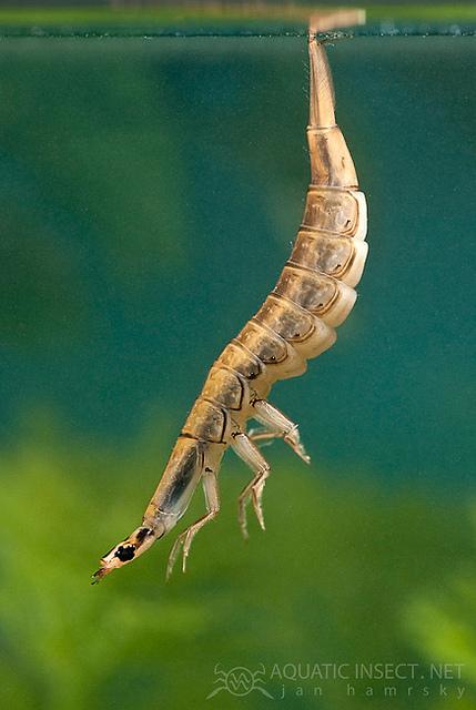water beetle larvae